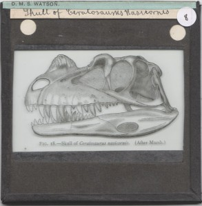 Ceratosaurus skull from the D.M.S Watson collection